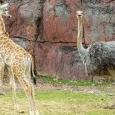 girafs